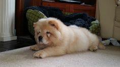 Cream chow puppy
