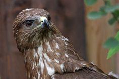 Poiana (Foto di M. Speziari) ricoverata presso il Centro Recupero Animali Selvatici del Parco dell'Adamello di Paspardo, gestito dall'Associazione Uomo e Territorio Pro Natura