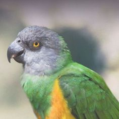 Poicephalus in particular the brown headed parrot. Pictured is the Senegal. Amazon Birds, Amazon Parrot, Caique Parrot, Parrot Flying, Senegal Parrot, Parrot Drawing, Talking Parrots, Parrot Perch, African Grey Parrot
