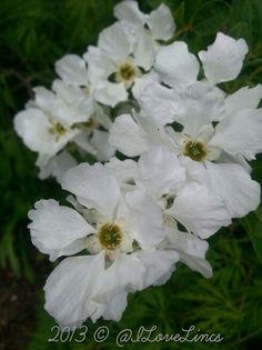 Exochorda, full of flower this year