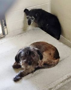"PLEASE KEEP SHARING EBONE..SHE.S NOT DOING WELL!! ( In the corner) --Sweet EBONIE""S family became too busy to spend time with her anymore so they left her at the shelter at 7 years old. She is adorable and she needs help now. Please SHARE, a FOSTER or Adopter would save her life. Thanks! #A4842186 Ebonie and I'm an approxi 7 year old female terrier I have been at the Carson Animal Care Center since June 11, 2015 You can visit me at my temporary home at C243.Carson Shelter, Gardena, CA"