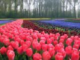 Keukenhof - Dutch Spring Gardens Near Amsterdam: Keukenhof Tulip Gardens in the Netherlands