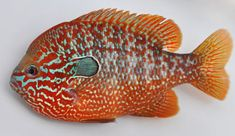 One variant of the Longear Sunfish, Lepomis megalotis.  Longears are often morphologically different based on geographic location.