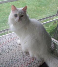 Turkish Angora Cat, posted via cuteoverload.com