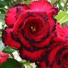 Adenium Desert Rose Double Black Asia: Logee's