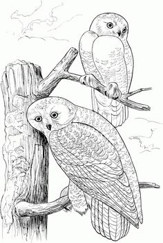 Owl coloring pages Owls are a group of birds that belong to the
