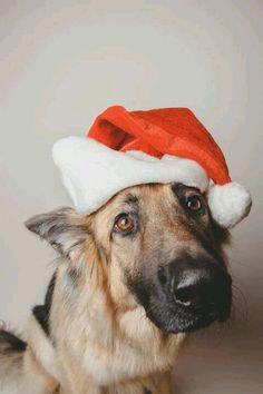 German Shepherd #Christmas #Holidays #Dogs