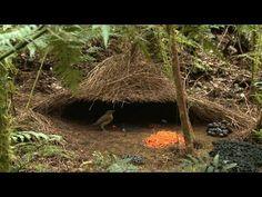 La naturaleza haciendo arquitectura: La enramada del Pájaro Pergolero