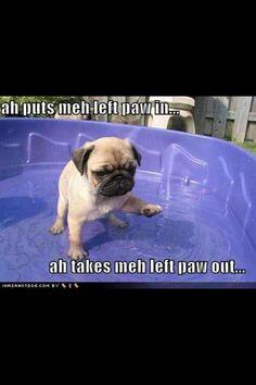 Hokey pokey pug