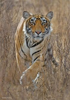 Tiger stalking. Photograph by Andy Rouse. Tiger (Panthera tigris) in India's Ranthambore National Park.