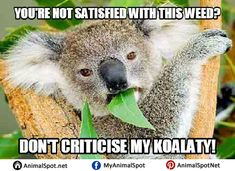 Koala bears are undoubtedly some of the most adorable and quirky animals in the animal kingdom. And when you combine their cuteness with memes- pure hilarity Funny Animal Memes, Funny Animals, Koala Meme, Animal Kingdom, Australia, Teaching, Travel, Koalas, Tes