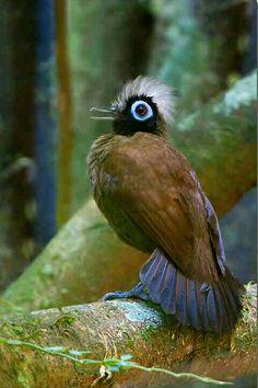Hairy Crested Antbird
