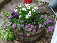 Whiskey Barrel planter - Cape daisy and trailing verbena jmeye
