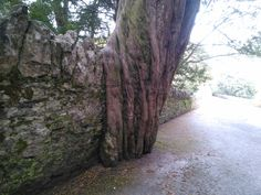 Which came first, the #tree or the wall? #Blarney #Castle