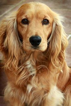 Top 6 Best Dog Breeds for Anxiety Patients; cutieeee!! Service dogs are amazing