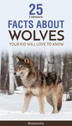 Searching for some interesting wolf facts for kids? Here's the list of wolf facts! Explore the world of wolves to know more about this animal. Check out now
