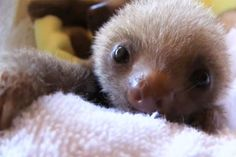 rapidly becoming obsessed with baby sloths. squeeee!!!!