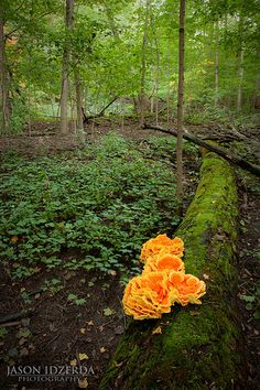 Forest Fungus....Chicken of the Woods...safely edible for most and YUMMY!