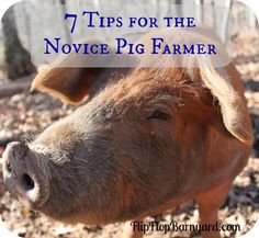 We are raising our first set of pigs for meat. It has been fun and quite the adventure at times. Here are my top 7 tips for the novice pig farmer...........    The Flip Flop Barnyard