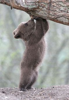 Baby Bear Cub Exploring! So adorable!                                                                                                                                                                                 More