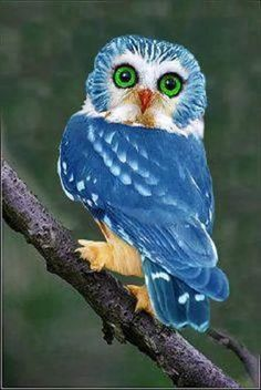 Owl. Wow. Originated in the Philippines there are only an estimated 250 this color left in the world. Pretty cool looking!