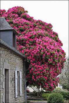 100-year-old pink Rhododendron