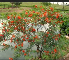 Acacia Mansa de flores rojas_Sesbania punicea