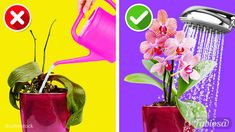 Indoor Orchid Care, Orchid Plant Care, Indoor Orchids, Orchids Garden, Orchid Plants, Orchids In Water, Blue Orchids, Growing Orchids, Caring For Orchids