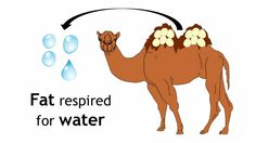 Adaptations of Camels   Ecology and Environment   the virtual school