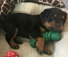 Rottweiler Funny, Rottweiler Breed, Cute Puppies, Cute Dogs, Dogs And Puppies, Education Canine, Puppy Images, Boxer Love, Funny Dog Pictures