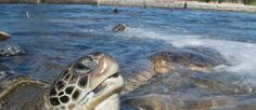 The Cayman Turtle Farm on Grand Cayman celebrates Caymanians' stewardship of the seas and relationship with nature through tactile, colourful, educational and memorable experiences.   www.caymanislands.ky