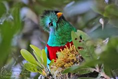 Resplendent Quetzal ~ Birds World
