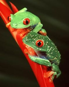Red-Eyed Tree Frog (Agalychnis callidryas) - Central America