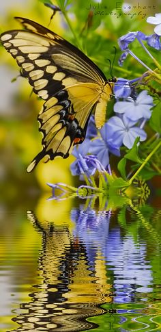 倫☜♥☞倫 Beautiful Butterflies: Swallowtail Butterfly on Plumbago *. Papillon Butterfly, Butterfly Kisses, Butterfly Flowers, Butterfly Quotes, Butterfly Pictures, Monarch Butterfly, Blue Flowers, Beautiful Bugs, Beautiful Butterflies