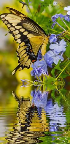 Andorinha borboleta com reflexão da água.