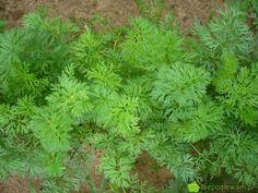 Siew warzyw do gruntu w grudniu Herbs, Gardening, Lawn And Garden, Herb, Horticulture, Medicinal Plants