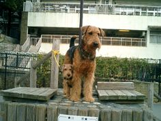 AIREDALE TERRIER this is such a cute picture
