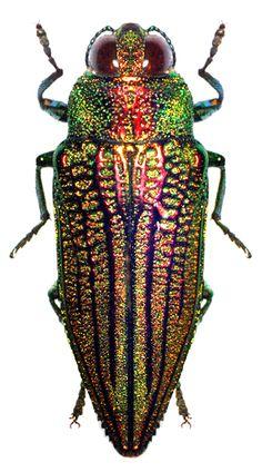 Iridotaenia chrysostoma (Deyrolle, 1864)  F Buprestidae