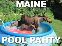 A Maine Pool Party! There is a lot of moose to be seen here!
