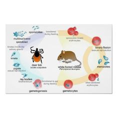 Babesia spp. Life Cycle. Babesia are protozoa living as parasites in the blood in cattle with ticks as vectors.