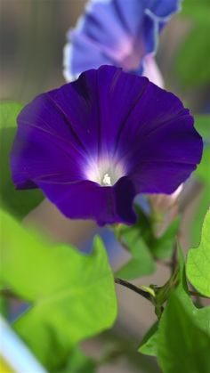 Morning glory: I love the flower of this creeper but unfortunately where I live this plant is too envasive and will take over the native plants if we let it so I dare not grow it.