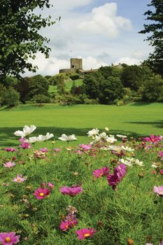 Cosmos Flowers and early medieval Clitheroe Castle, Lancashire, England