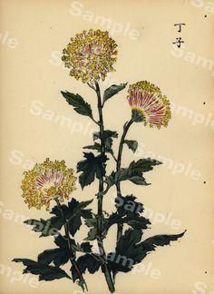 Lovely KORIN ukiyo-e Japanese woodblock original by Printvilla4you Antique Prints, Chrysanthemum, Rarity, Period, This Book, Delicate, Japanese, The Originals, Antiques