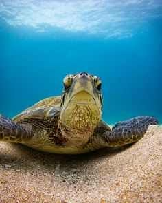 Wild Creatures, Ocean Creatures, Baby Turtles, Sea Turtles, Padi Diving, Scuba Diving, Animal Pictures, Cute Pictures, Tortoise Turtle