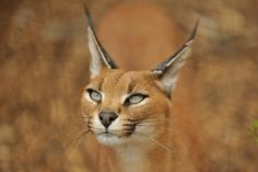 The Caracal. A cat that can supposedly catch two flying birds simultaneously. They have seventeen muscles just for the control of each ear.