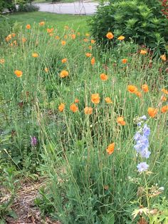 Papaver rupifragum 'Double Tangerine Gem' (poppy) - cottage garden, back. These sed prolifically, so I pulled a bunch out this year. Garden Pictures, Poppy, Gem, June, Cottage, Plants, Poppies, Gemstones, Cottages