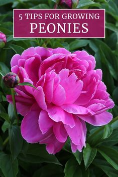 are one of America& best-loved perennials. Their lush, early summer. - ::: Ogród z duszą / Garten der Seele ::: - Peonies are one of America& best-loved perennials. Their lush, early summer. - ::: Ogród z duszą / Garten der Seele ::: - Garden Shrubs, Garden Plants, Rockery Garden, Flowering Plants, Garden Pond, Shade Garden, Beautiful Flowers Garden, Beautiful Gardens, Organic Gardening