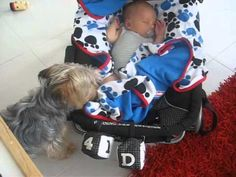 N'awwwwee!!!!   When This Yorkie Noticed His Human's Newborn Wasn't Covered Up He Decided To Tuck Him In