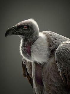 vulture by glen wexler