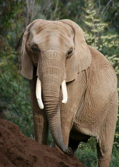 Elephant (by Penny Hyde) | Help us gain media sponsorships by liking IvoryForElephants on FB. Keep up with the news, read The Elephant Daily